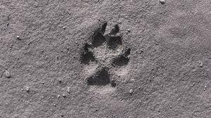 Превью обои след, лапа, песок, чб, крупный план