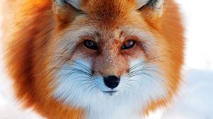 Превью обои снег, зима, лиса, рыжая, нос