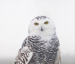 Превью обои снежная сова, сова, птица, белый, дикий