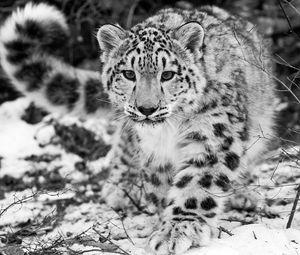 Превью обои снежный барс, снег, охота, внимательность, чб