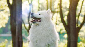 Превью обои собака, самоедская собака, самоед, белый, пушистый, высунутый язык