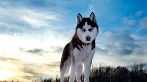Превью обои собака, хаски, взгляд, пятнистый, морда