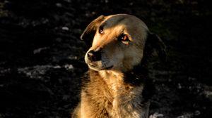 Превью обои собака, коричневый, питомец, взгляд
