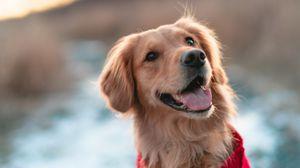 Превью обои собака, коричневый, высунутый язык, питомец