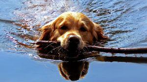 Превью обои собака, морда, палка, плавать, команда