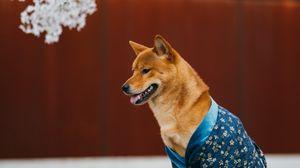 Превью обои собака, питомец, рубашка, высунутый язык, забавный
