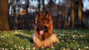 Превью обои собака, трава, сидеть, высунутый язык