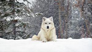 Превью обои собака, волк, лес, снег, лежать