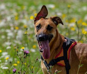 Превью обои собака, животное, высунутый язык, питомец, радость