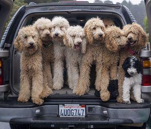 Превью обои собаки, животные, питомцы, пушистые, автомобиль