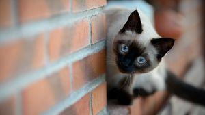 Превью обои стена, кирпич, кошка, сиамская