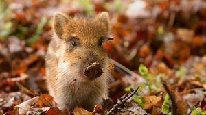 Превью обои свинья, грязь, листья, осень, маленький