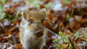 Превью обои свинья, грязь, маленький, листья, осень