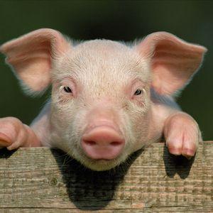 Превью обои свинья, поросёнок, загородь, копыта, крупный план, лицо