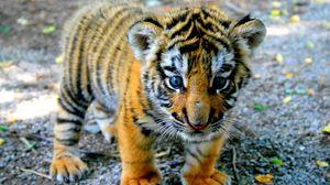 Превью обои тигр, детеныш, взгляд, малыш