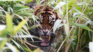 Превью обои тигр, хищник, трава, пасть, клыки, ярость, оскал