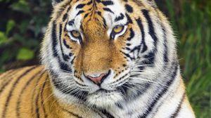 Превью обои тигр, хищник, взгляд, животное