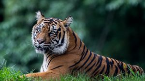 Превью обои тигр, хищник, животное, большая кошка, взгляд