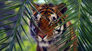 Превью обои тигр, морда, листья, взгляд, полосатый