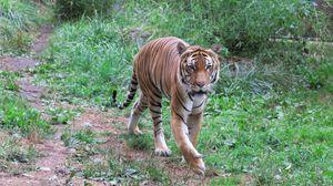 Превью обои тигр, хищник, животное, большая кошка, дикая природа