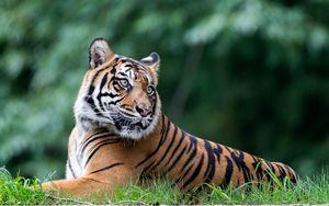 Превью обои тигр, животное, большая кошка