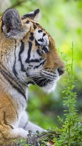 Превью обои тигр, животное, хищник