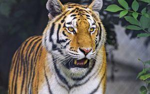 Превью обои тигр, животное, рык, хищник, большая кошка