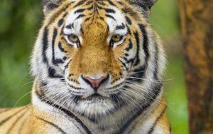 Превью обои тигр, животное, взгляд, хищник, большая кошка
