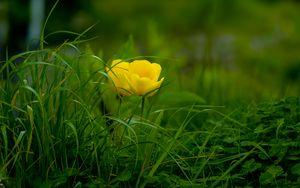Превью обои тюльпан, трава, цветок, флора, цветение