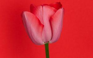 Превью обои тюльпан, цветок, красный