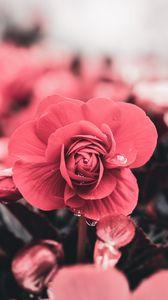 Превью обои цветок, капли, макро, лепестки, размытость