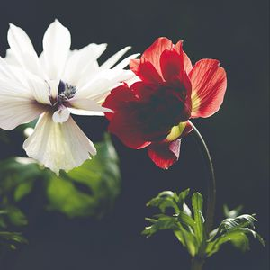 Превью обои цветок, лепестки, макро, красный, темный