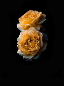 Превью обои цветок, роза, желтый, бутон, темный фон