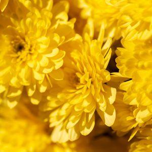 Превью обои хризантемы, цветы, лепестки, желтый, яркий, макро