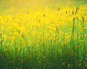 Превью обои цветы, полевой, желтый, трава