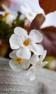 Превью обои цветы, растение, белый, макро