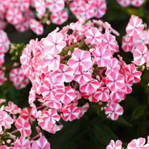 Превью обои цветы, растение, розовый, макро