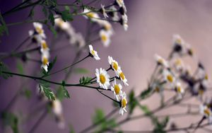 Превью обои цветы, ромашки, размытость