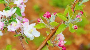 Превью обои цветы, цветение, весна, ветка, яблоня