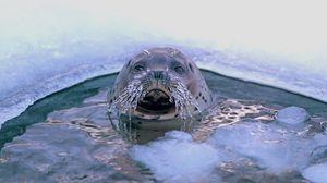 Превью обои тюлень, прорубь, усы, лед, морские