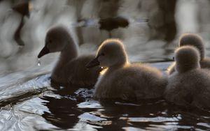 Превью обои утята, утки, птицы, вода, пушистый