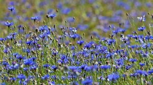 Превью обои васильки, цветы, луг, природа, лето