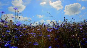 Превью обои васильки, поле, солнце, небо, облака, колосья, природа