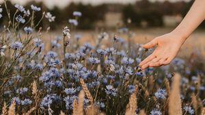Превью обои васильки, цветы, рука, колоски, поле