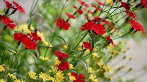 Превью обои васильки, цветы, цветение, красный
