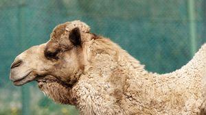 Превью обои верблюд, морда, профиль, шерсть