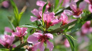 Превью обои весна, цветение, ветка, дерево, персики