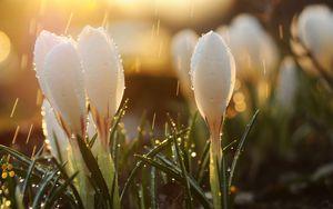 Превью обои весна, подснежники, цветы, бутоны, капли, солнце, блики