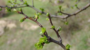 Превью обои весна, ветка, почки, листья, зеленые