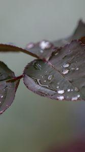 Превью обои ветка, роза, листья, капли